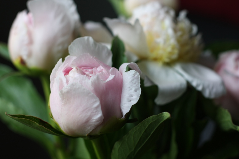 Peonies from La Primavera Farms