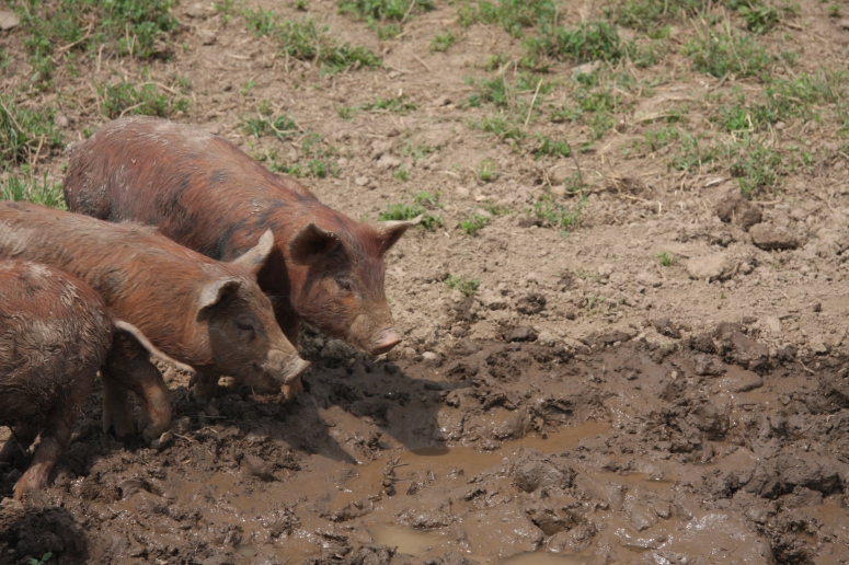 Pigs - Dunbar Organic Farm