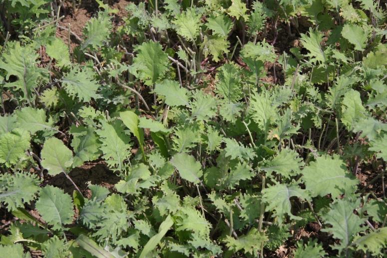 Kale - Close to Home Farm