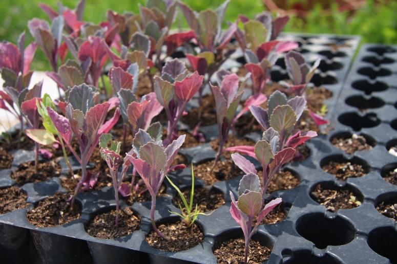 Seedlings - Honest Field Farms